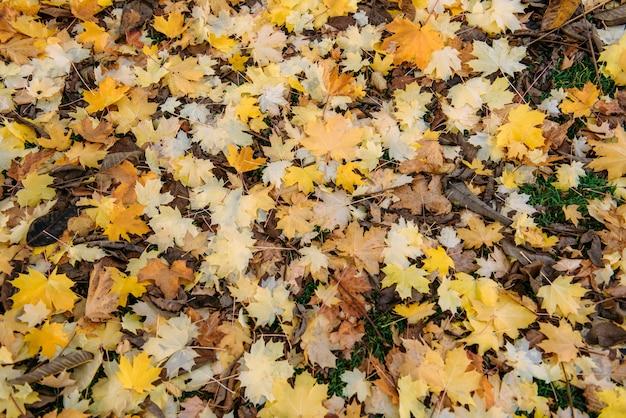 Opadłych liści klonu na zielonej trawie. późna jesień, zmiana sezonu. naturalne tło