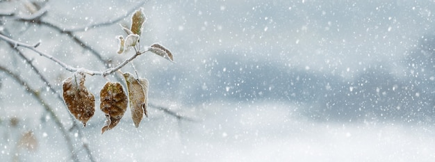 Opady śniegu w ogrodzie. gałąź drzewa z suchymi liśćmi podczas opadów śniegu, panorama