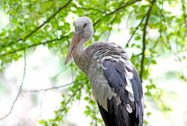 Open-billed bocian azjatycki openbill anastomus oscitans beautiful birds of thailand