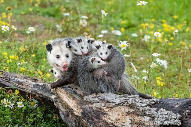 Opossum lub possum mother z joeys jeżdżącą na plecach