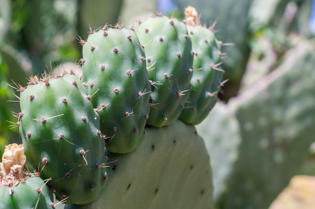Opuntia ficus-indica (fichi di india), sycylia, włochy
