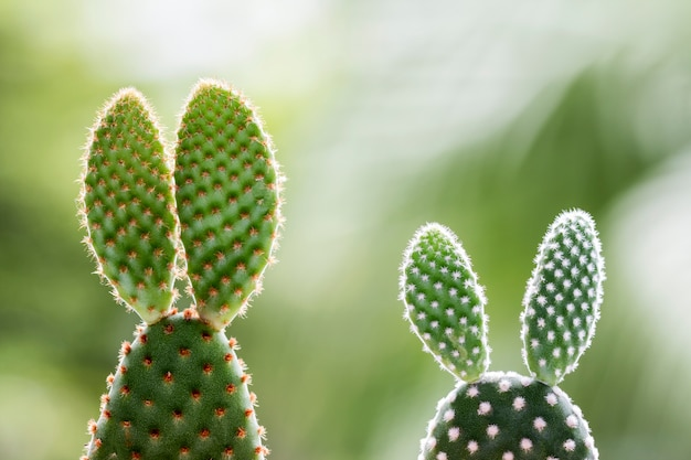 Opuntia kaktus na natury tle z kopii przestrzenią