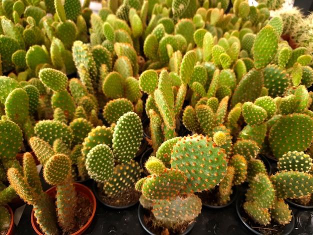 Opuntia microdasys na farmie kaktusów