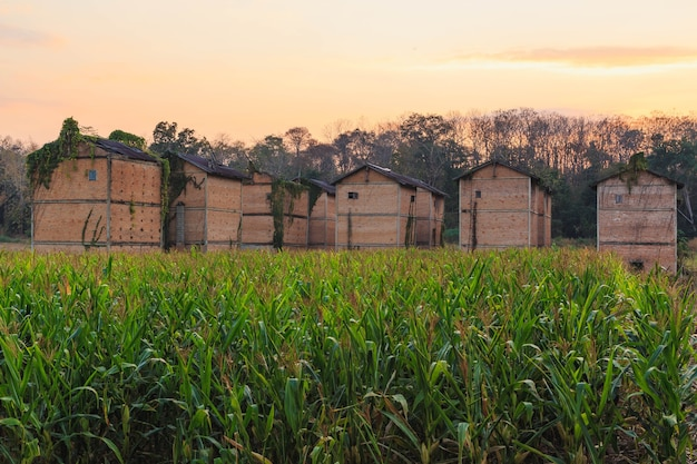 Opuszczone budynki na polu kukurydzy
