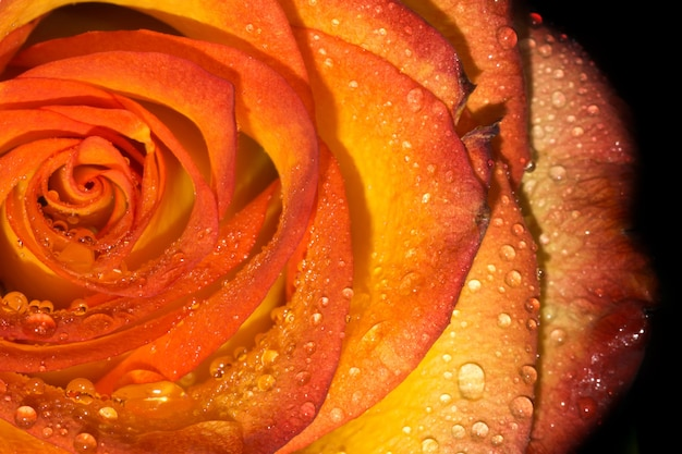 Orage rose with droplets macro