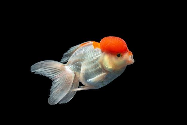 Oranda goldfish odizolowywająca w blackground