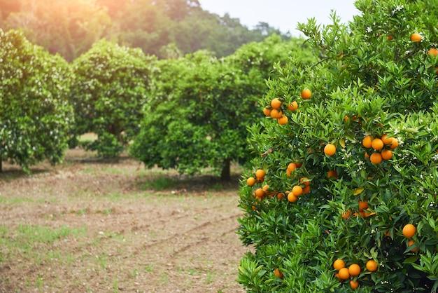 Orange - drzewo pomarańczowe orange park. świat piękna
