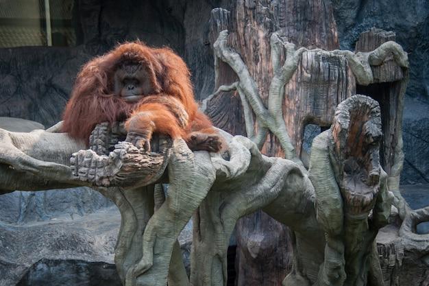 Orangutan leżący na kamieniu