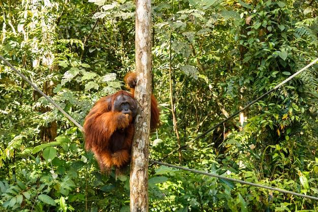 Orangutan siedzi na drzewie.