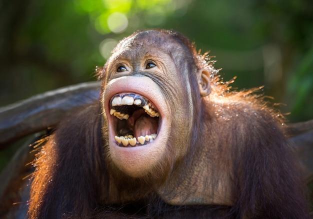 Orangutan śmieje się radośnie.