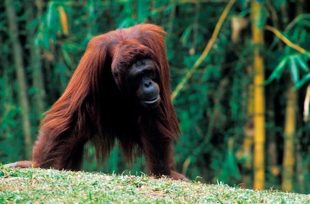 Orangutan stojący na wzgórzu, singapur,