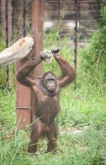 Orangutan stojący