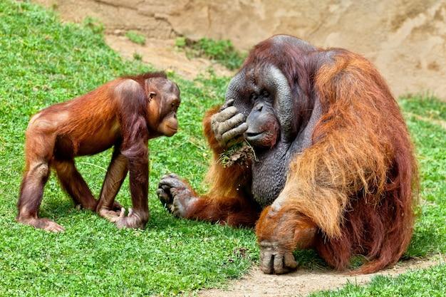 Orangutan z borneo, pongo pygmaeus