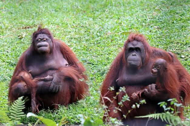 Orangutany ze swoimi dziećmi