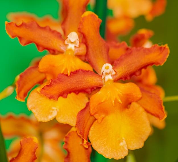 Orchidea catatante orange cambria, kwitnąca