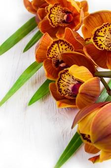 Orchidea cymbidium z brązowym kolorem na białym tle