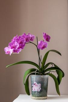 Orchidea kwitnąca w domu. pink phalaenopsis w doniczce na stole