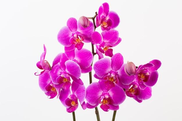 Orchidea na białym tle. widok z góry