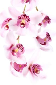 Orchidea na białym tle