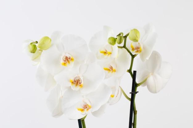 Orchidea na białym