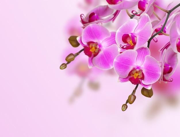 Orchidea na różowym tle