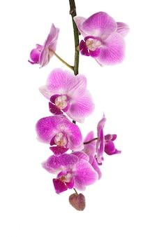 Orchidea odizolowywająca na bielu