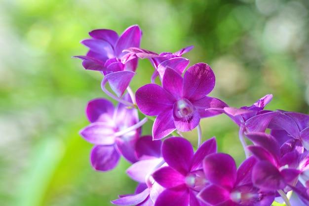 Orchidea purpurowy kwiat tropikalna roślina