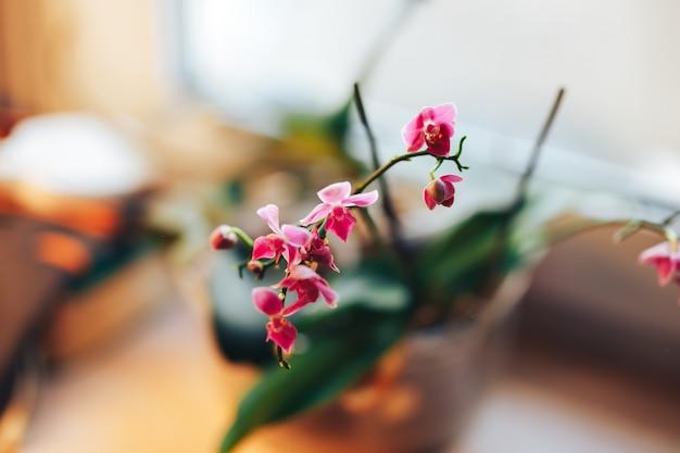 Orchidee w oknie, nieostrość. piękny domowy bukiet fioletowo-białej orchidei we wnętrzu