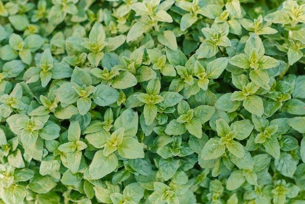 Oregano jasnozielone futrzaste nowe liście origanum vulgare świeże oregano rosnące w ogrodzie ziołowym
