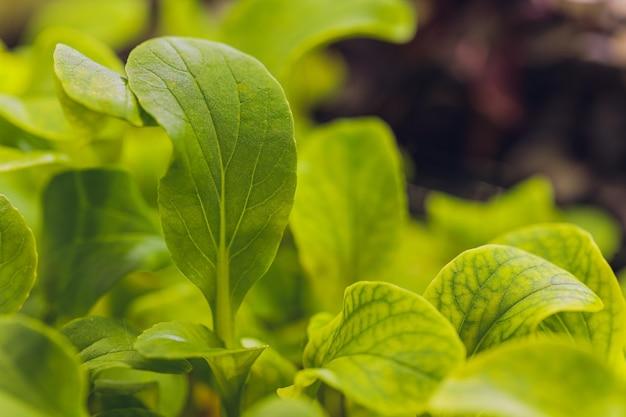 Organiczna cilantro microgreen gotowa do zbioru.