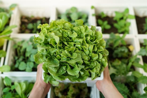 Organiczna roślina sałatkowa: zielony dąb w białej plastikowej doniczce.