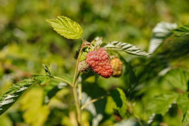 Organiczne dojrzałe maliny czerwone na krzaku, uprawa, ogród, żywność