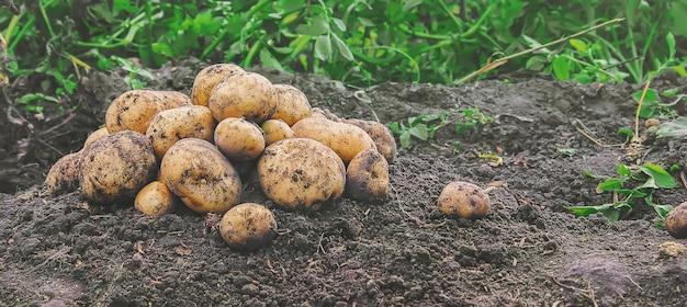 Organiczne, domowe warzywa zbierają ziemniaki. selektywna ostrość.