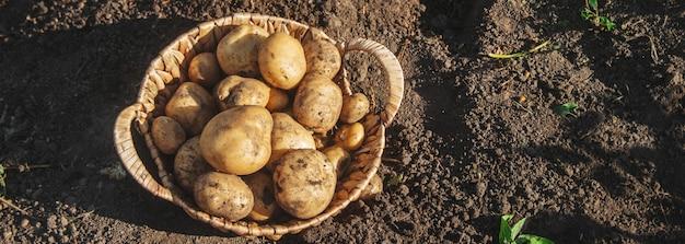 Organiczne domowe warzywa zbierają ziemniaki. selektywne skupienie.