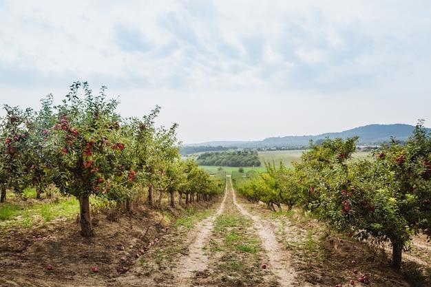 Organiczne jabłka zwisające z gałęzi drzewa w sadzie jabłkowym