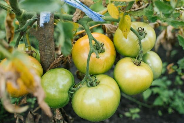 Organiczne niedojrzałe pomidory rosną w ogrodzie bez nawozów