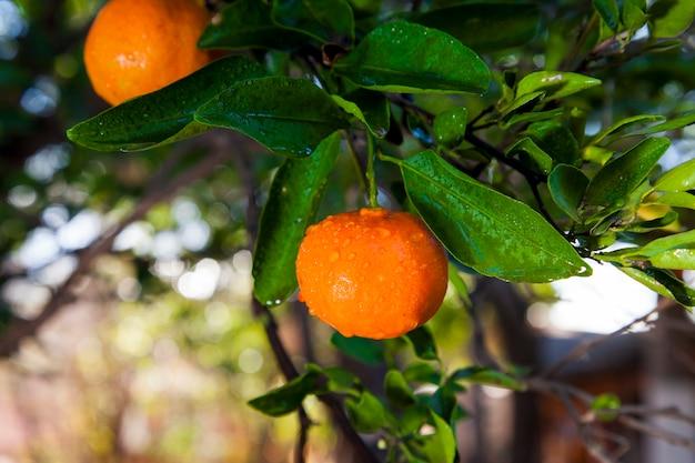 Organiczne pomarańczowe mandarynki w drzewie gotowe do żniw