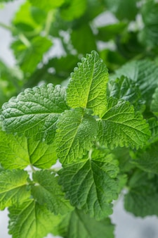 Organiczne świeże liście melissy