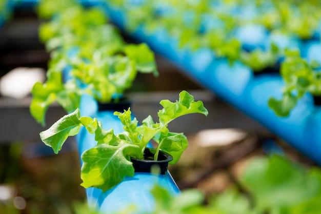 Organiczne warzywo z dębu zielonego w systemie uprawy hydroponicznej na tome przy użyciu wodociągów diy.