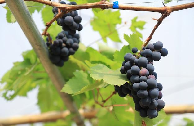 Organiczne wino winogronowe z owocami w lokalnej farmie owocowej