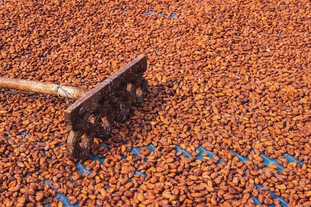Organiczne ziarna kakaowego słońca suszenia w gospodarstwie