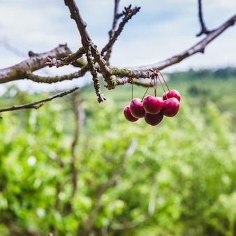 Organicznie czerwone dojrzałe wiśnie na gałąź