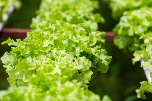 Organicznie gospodarstwo rolne z rolniczym warzywem hydroponic.