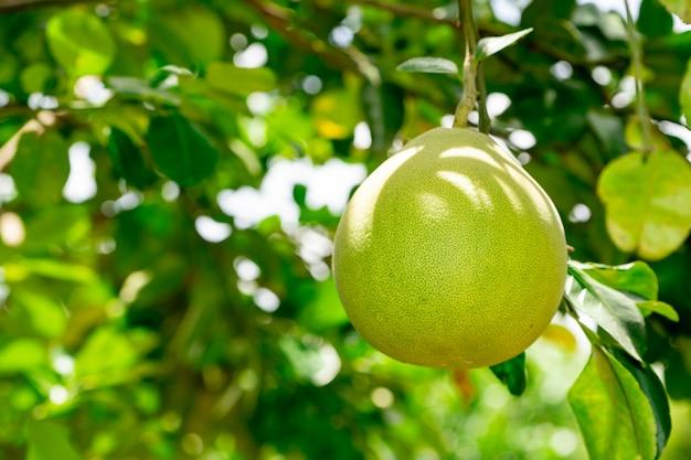 Organicznie pamelo owoc na drzewie w ogródzie uprawia ziemię rolnictwo