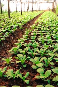 Organiczny ogród warzywny