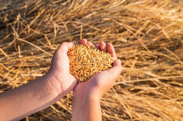 Organiczny ryż w rękach