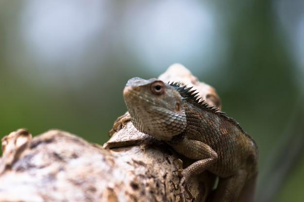 Orientalna jaszczurka ogrodowa wschodnia jaszczurka ogrodowa krwiopijca lub jaszczurka zmienna