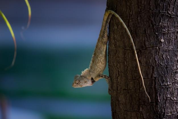 Orientalna jaszczurka ogrodowa wschodnia jaszczurka ogrodowa krwiopijca lub zmienna jaszczurka na drzewie