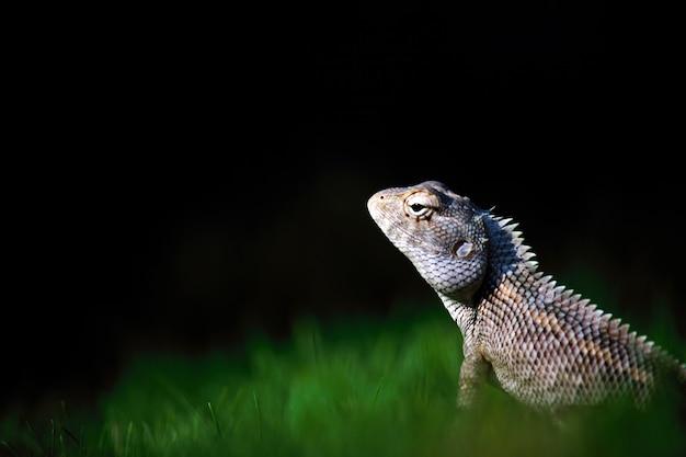 Orientalna jaszczurka ogrodowa wschodnia jaszczurka ogrodowa krwiopijca lub zmienna jaszczurka na trawie