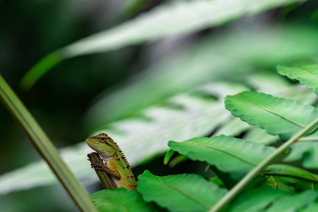 Orientalna jaszczurka ogrodowa, wschodnia jaszczurka ogrodowa, wymienna jaszczurka (calotes mystaceus) w lesie. gady zwierząt. jaszczurka zielona i brązowa. kameleon na gałąź w lesie. dzikie życie zwierząt.